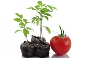پرورش گوجه در خانه